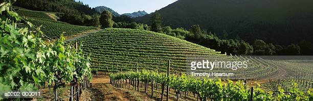 contour vineyard - timothy hearsum stock pictures, royalty-free photos & images