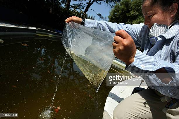 Contra Costa County Mosquito and Vector Control District technician Josefa Cabada releases a bag of Gambusia affinis better known as 'Mosquito Fish'...