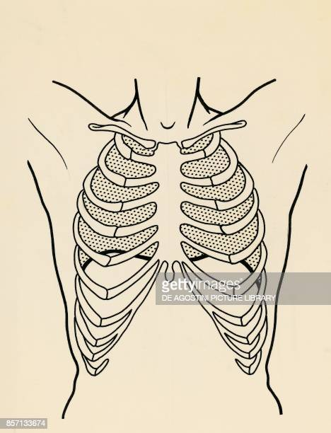 Contraction of the diaphragm on exhalation human body drawing