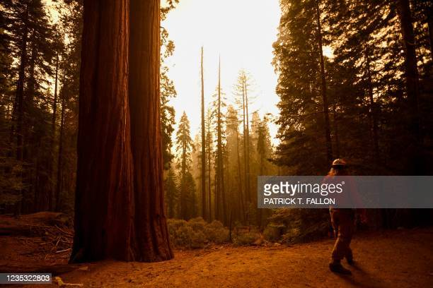 """Contractor walks past giant sequoia trees among smoke filled skies in the """"Lost Grove"""" along Generals Highway north of Red Fir during a media tour of..."""