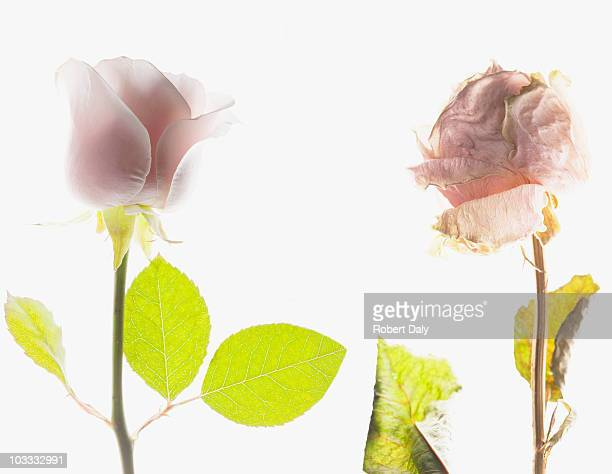 contrast of blooming pink rose and dying pink rose - rot stock pictures, royalty-free photos & images