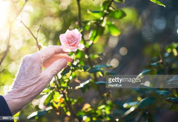 contrasts: wrinkled old hand by fresh young rose bloom - rose colored stock pictures, royalty-free photos & images