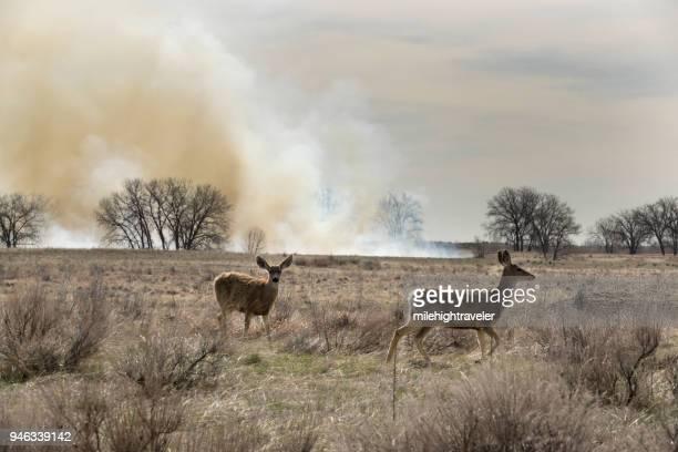 Controlled fire burn deer graze Rocky Mountain Arsenal National Wildlife Refuge Colorado