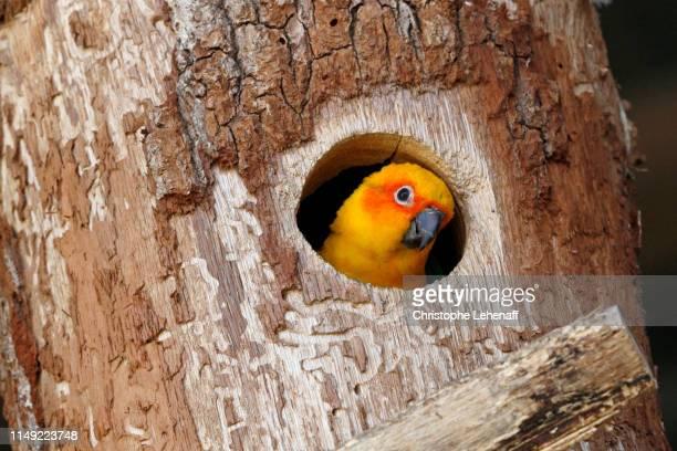 conure soleil dans son tronc d'arbre - パラキート ストックフォトと画像