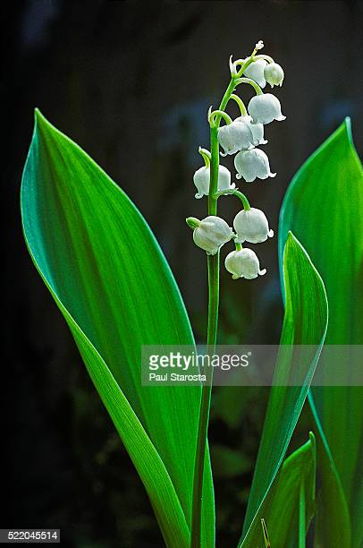convallaria majalis (european lily of the valley) - mughetti foto e immagini stock