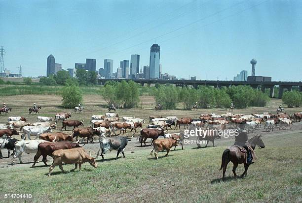 8/84GOP ConventionCattle drive with Dallas skyline in background