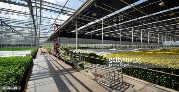 Conveyor belt for fresh cut chrysanthemums in modern Dutch greenhouse, Maasdijk, Zuid-Holland, Netherlands