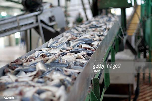 conveyor belt with fresh fish