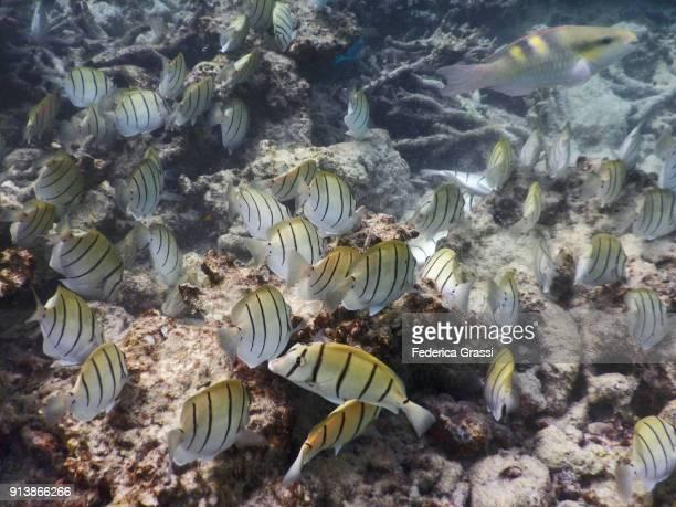 Convict Surgeonfish (Acanthurus triostegus) And Parrotfish