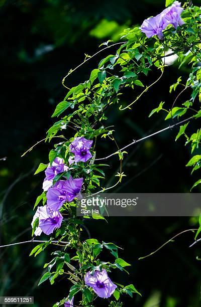 convolvulaceae - ナムディン ストックフォトと画像