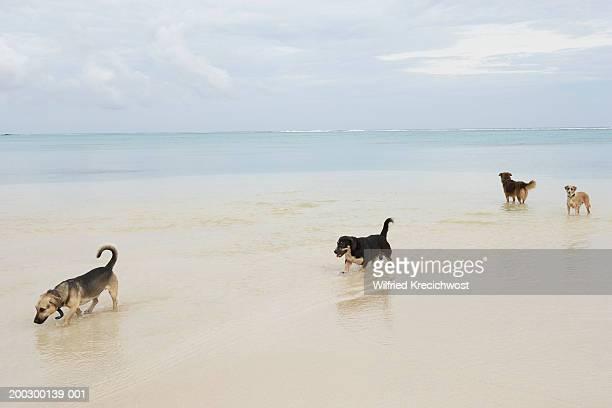 Cook Islands, Rarotonga, dogs walking in lagoon
