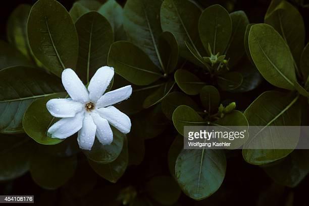 Cook Islandspalmerston Atollgardenia Taitensistiare
