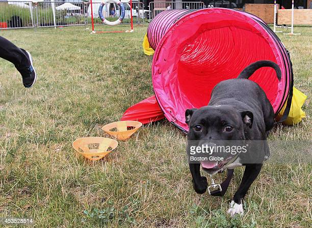 'Cookie' an English Staffordshire Bull Terrier participated in agility drills during Pet Palooza at Assembly Row in Somerville Mass on August 2 2014
