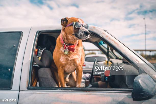 cool dog with sunglasses enjoying pick-up ride on american highway - dog stock pictures, royalty-free photos & images
