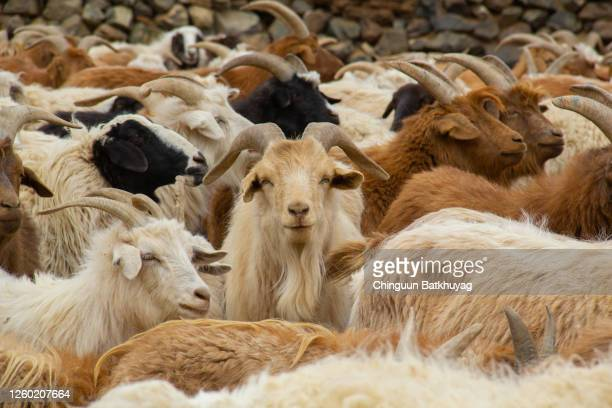 cool goat - cashmere stock pictures, royalty-free photos & images