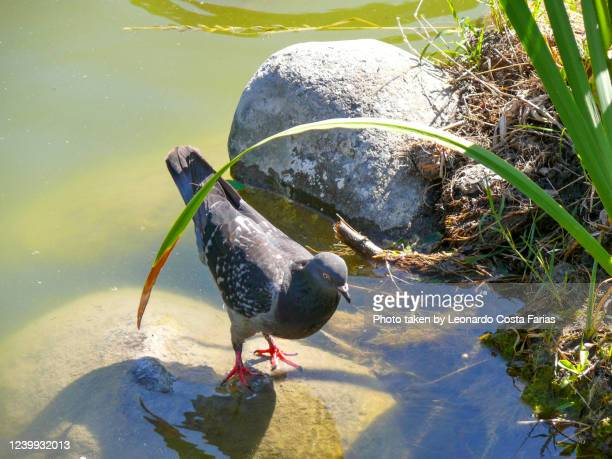 cooling pigeon - leonardo costa farias stock pictures, royalty-free photos & images