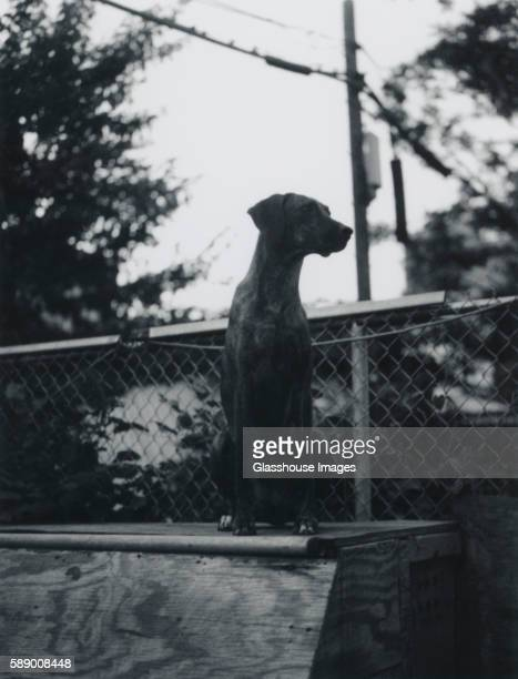 coonhound dog, outdoor portrait, - coonhound stock pictures, royalty-free photos & images