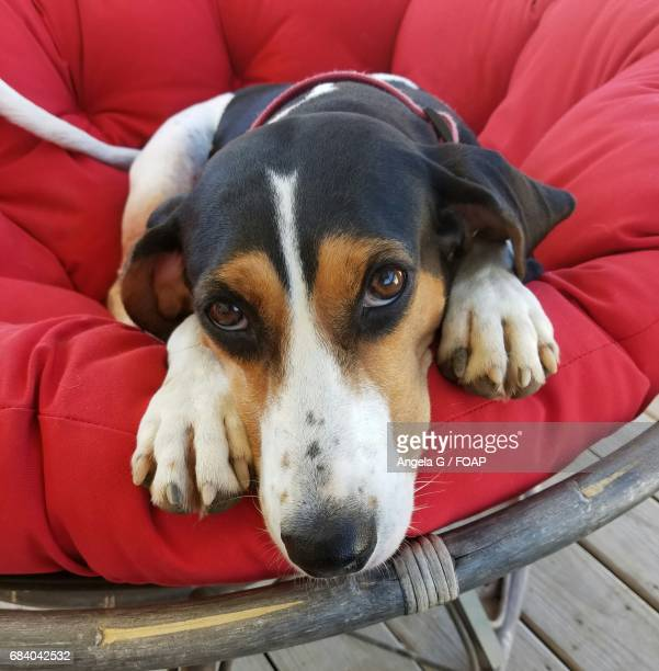 coonhound looking at camera - coonhound stock pictures, royalty-free photos & images