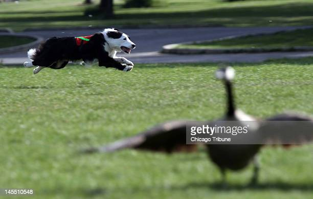 Cooper a border collie scares geese for Wild Goose Chase of La Grange on May 23 2012 at Jackson Park in Chicago Illinois