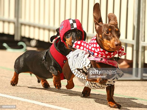 Cooper dressed as a racing car driver chases a competitor as he competes in the Hophaus Southgate Inaugural Dachshund Running of the Wieners Race on...