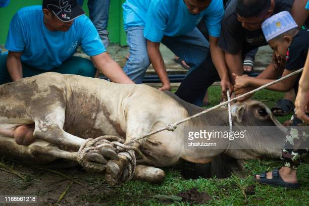 cooperation among muslim villages to defeat the cow during eid adha festival. - shaifulzamri fotografías e imágenes de stock