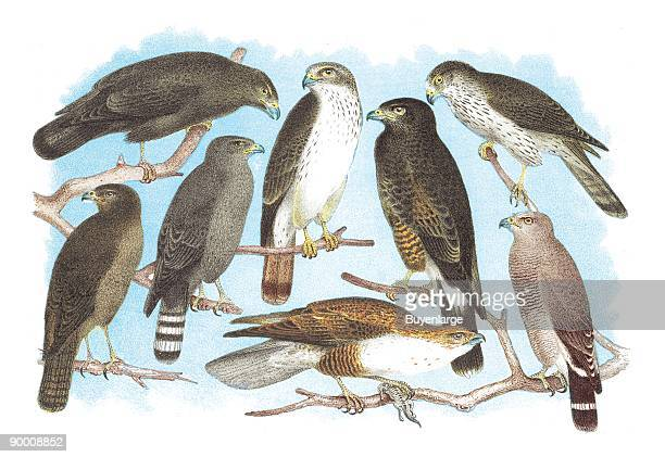 Coopers Grubers Harlan and Harris Buzzards and Chicken Hawk