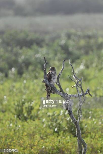 coopers hawk perched in texas - south padre island stock pictures, royalty-free photos & images