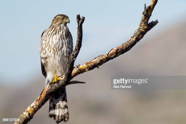 coopers hawk - hawk stock pictures, royalty-free photos & images