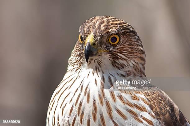 cooper's hawk profile - goshawk stock photos and pictures