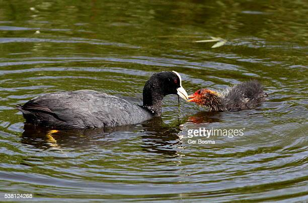 coot feeding her baby - ugly baby stock photos and pictures
