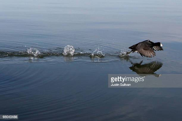 Coot flies across the water after being released at Eastshore State Park November 13 2009 in Berkeley California Fifteen rehabilitated birds that...