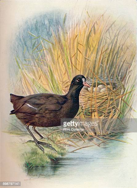 Coot Fulica atra circa 1910 From Britains Birds and Their Nests by A Landsborough Thomson [The Waverley Book Company Limited W R Chambers Limited...