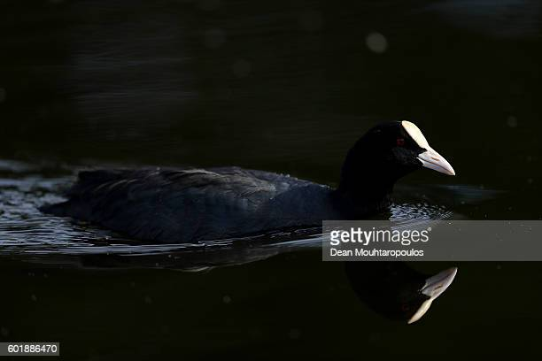 A coot in water near the 17th greepn during the third round on day three of the KLM Open at The Dutch on September 10 2016 in Spijk Netherlands