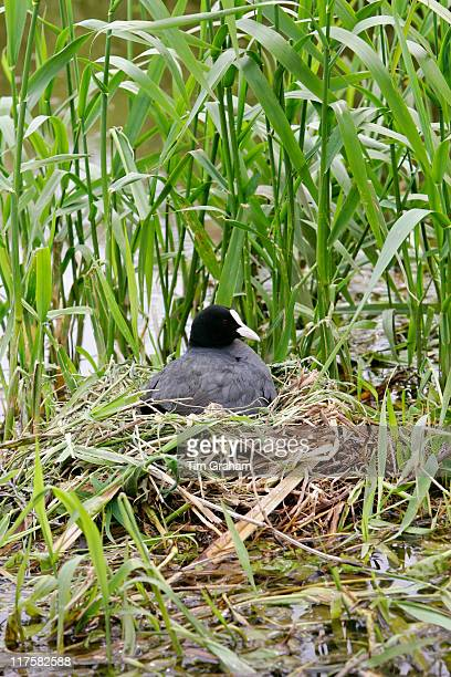 Coot on nest among reeds in The Cotswolds Oxfordshire England United Kingdom
