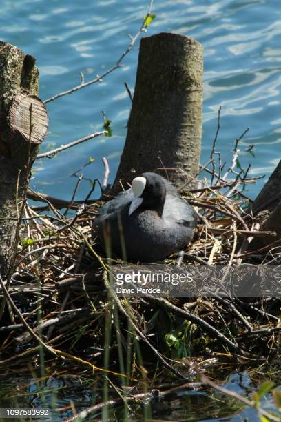 A Coot sat in a nest