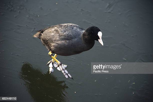 S CANAL LONDON GREATER LONDON UNITED KINGDOM A coot walking over the ice surface A layer of ice covers the surface of Regent's Canal on which coots...