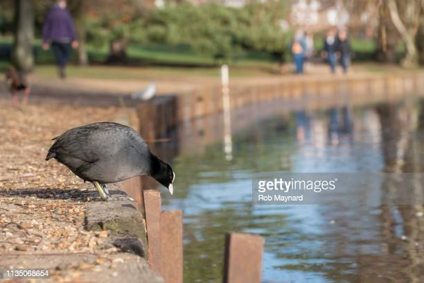 coot watcher at the lake - featherweight stock pictures, royalty-free photos & images