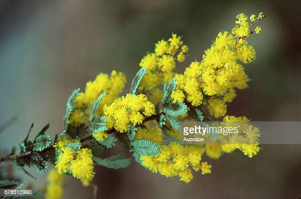 Cootamundra wattle, Acacia baileyana, in flower. Joseph Banks Gardens, Sydney, New South Wales, Australia.