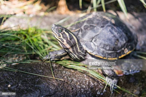 Cooter turtle sunbathing on the rocky ground in on the edge of a pond.