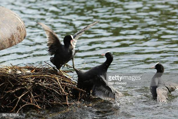 Coots fight over a nest with eggs in in Regent's Park on April 11 2017 in London England Much of the UK is currently enjoying Spring sunshine with...