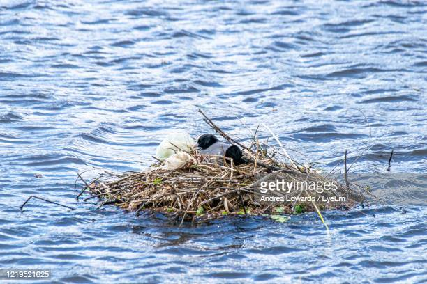 coots, fulica atra, used plastic bags and polythene to support nest building - bird's nest stock pictures, royalty-free photos & images