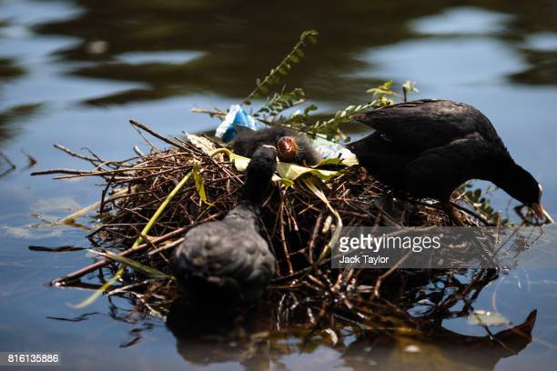 Coots sit on a nest on the Serpentine in Hyde Park on July 17 2017 in London England Much of Britain experienced warm and sunny weather today with a...