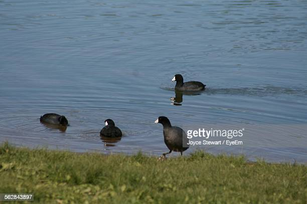 Coots Swimming On River