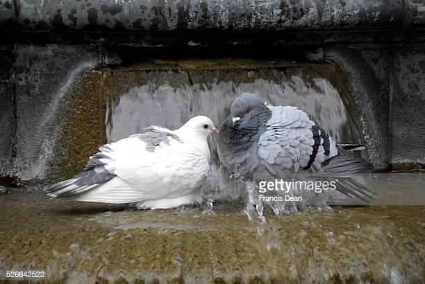 Copenhagen /Denamrk _04 May 2015_ Couple of pigeons taking shower celan feathers