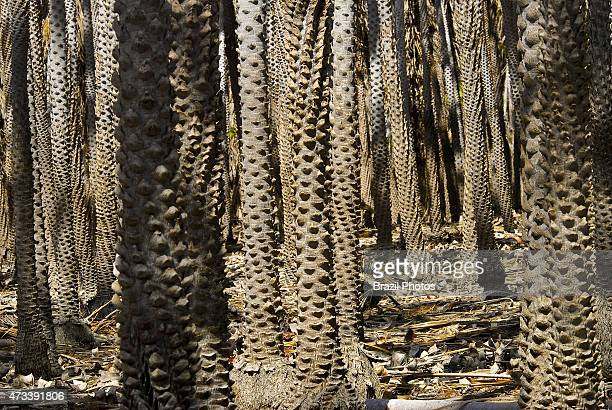 Copernicia prunifera or the carnauba palm or carnaubeira palm is a species of palm tree native to northeastern Brazil source of carnauba wax which is...