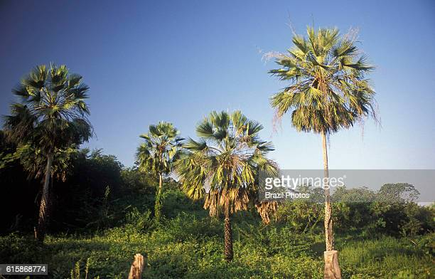 Copernicia prunifera or the carnauba palm or carnaubeira palm is a species of palm tree native to northeastern Brazil It is the source of carnauba...