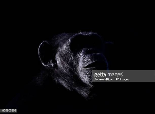 Copper an older chimp at Blair Drummond Safari Park Stirling ahead of National Grandparents Day on October 1st as the park runs a Grandparents week