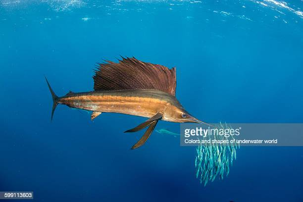 copper colour of the sailfish - sailfish stock pictures, royalty-free photos & images