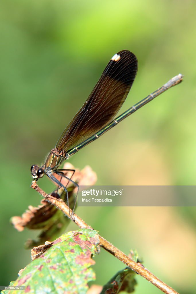 Copper Demoiselle : Foto de stock