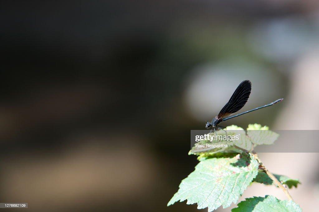 Copper Demoiselle : Foto de stock